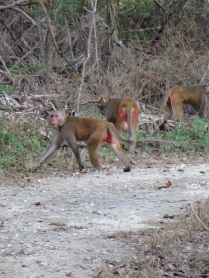 The Rhesus monkeys