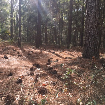 Pines and sunshine on Twister, Santos trails