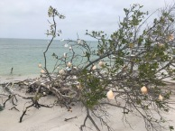 Shell tree on the way to Caladesi Island