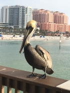 Pelican on the sunset pier at Clearwater Beach